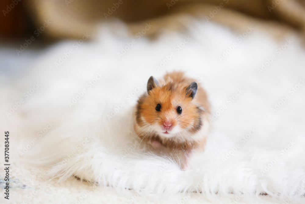 Fototapeta Curious funny hamster at home