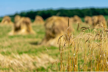 Amish / Mennonite Wheat / Barley Bails Of Straw Waiting To Be Thrashed.  Marco And Close Up Photographs.  Holmes County Ohio.  Mid Summer Harvest Of Winter Wheat.  Selective Focus/ Bokeh