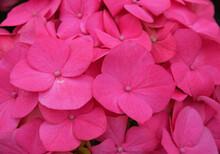 Close Up Pink Hydrangea Horten...