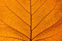 Extreme Close Up Texture Of Orange Leaf Veins