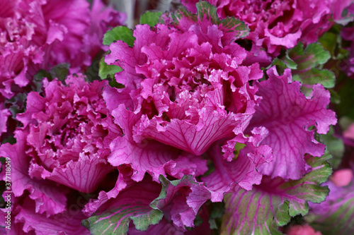 Photo Close up purple rosette of ornamental kale cabbage