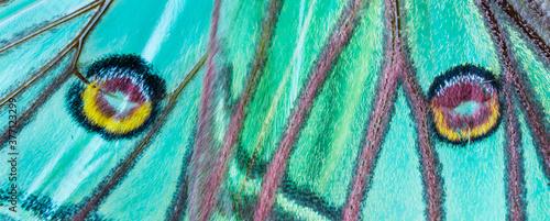 Fototapeta Detail of Eyespot (sometimes ocellus) - Ocelo, MARIPOSA ISABELINA - SPANISH MOON
