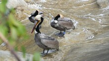 Brown Pelicans With Throat Pou...