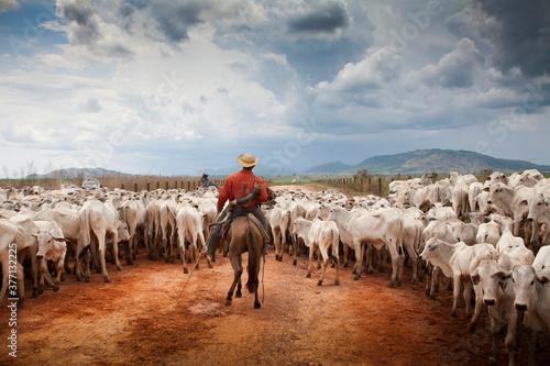 Comitiva de gado nelore em estada de terra da Pecuária na Amazônia - Billede på lærred