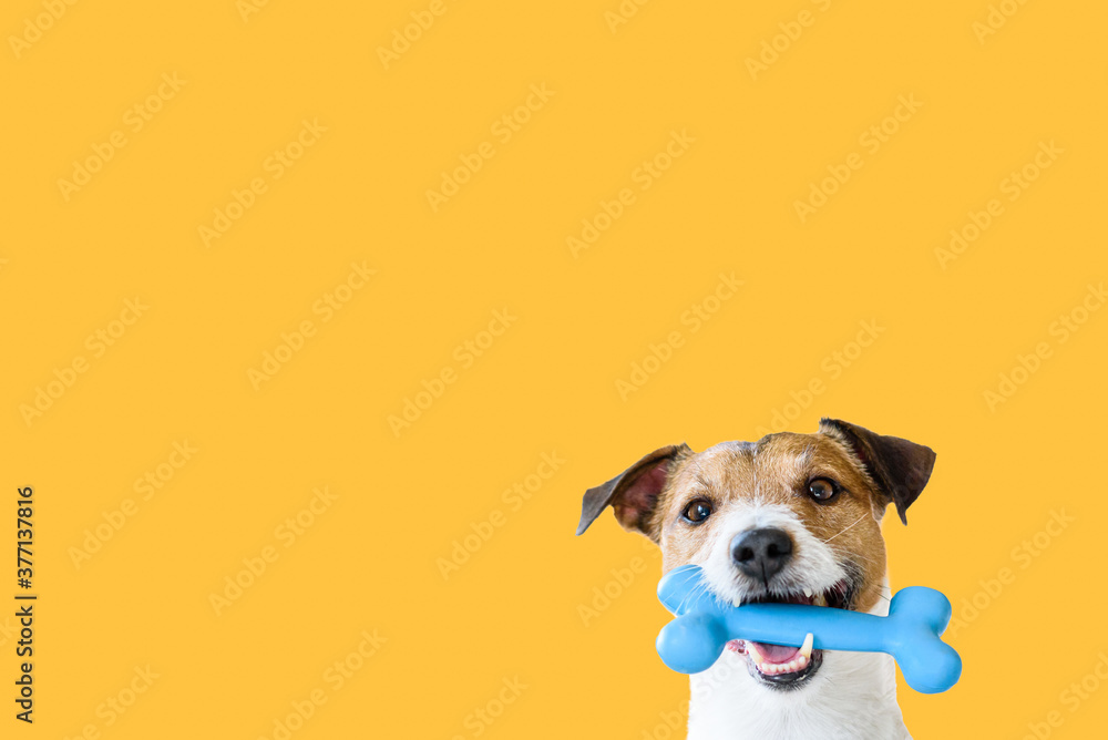 Fototapeta Happy pet dog holding in mouth blue toy bone against solid colour yellow background