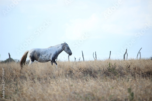 white horse in the field - 377141647