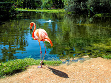 Single Flamingo Standing By A Reflective Pond