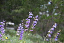 Close Up Of Penstemon Wildflower In Mountain Meadow On A Windy Day