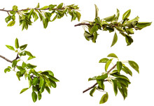 Pear Tree Branch With Green Le...