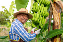 Happy Smiling Asian Senior Agricultural Holding Raw Banana On Tree In The Garden. Banana Farming In Thailand