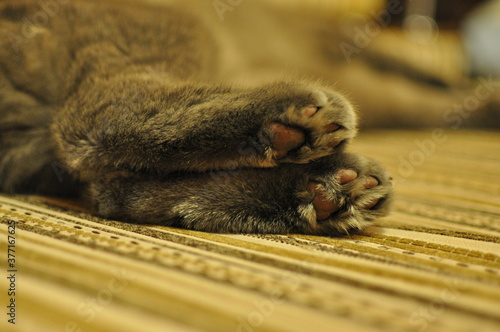 Fotografie, Tablou cat's hind legs pads