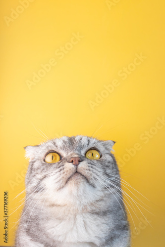 Photographie Portrait of a gray in black striped Scottish Fold cat with yellow eyes