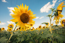 Blooming Sunflowers On A Large...