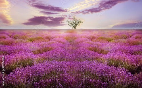Fototapety, obrazy: Beautiful lavender field with single tree under amazing sky at sunset