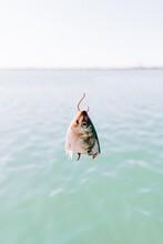 Fish Head Used As Bait