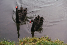 Black Swans Swimming In A River