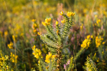 Gorse Yellow Flower Plant