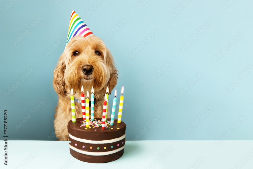 Fototapeta Funny dog with birthday cake