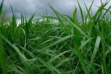 Tall Wild Grass