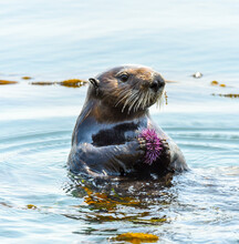 Sea Otter At Morro Bay Eating A Sea Urchin, At Morro Bay, California.