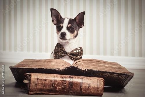 Fototapeta chihuahua  gracioso con pajarita