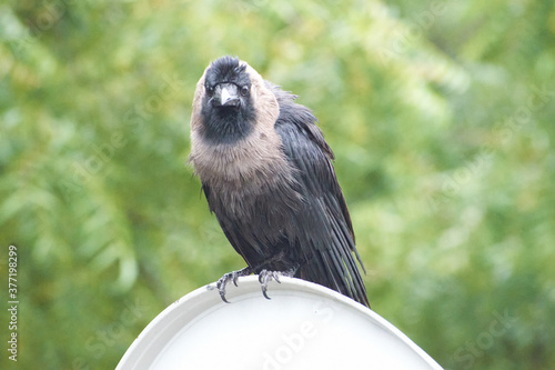 Photo Indian Black Carrion Crow.