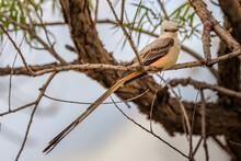 Scissortail Flycatcher (Tyrannus Forficatus) Perched In A Tree