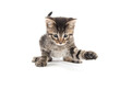 canvas print picture - Cute baby tabby kitten playing and looking down