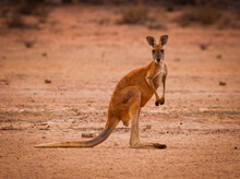 Red Kangaroo (Macropus Rufus) In The Desert Looking At The Camera. Largest Of All Kangaroos And Largest Terrestrial Mammal Native To Australia.