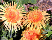 Stunning Gerbera Jamesonii  Desert Sands, A Species Of Flowering Plant In The Genus Gerbera Or Transvaal Daisy From Africa With Double Bright Yellow Orange Centered Ray Florets Is A Beautiful Plant.