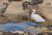 Little Egret On The Seashore O...