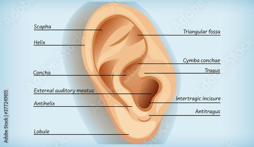 Anatomy of external ear Wallpaper Mural