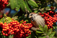 Close Up Of A Male Sparrow Resting On The Tree Branch Staring At Bunch Of Red Cherries Under The Sun