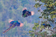 A Male Peacock Follows A Female Peacock Flying Up To The Tree.