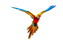 Flying Scarlet Macaw Isolated ...
