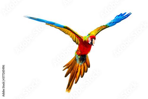 Obraz Flying Scarlet Macaw isolated on white. - fototapety do salonu