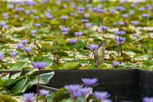 Striated Heron Islated In The Lotus Pond.
