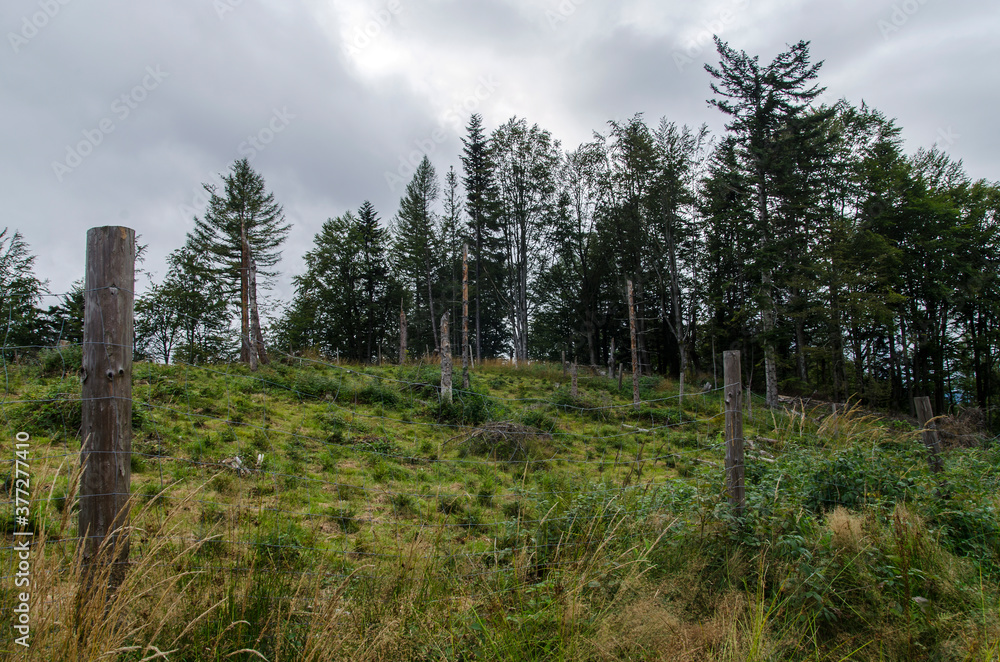 Fototapeta młody las