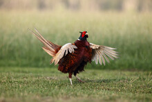 The Common Pheasant (Phasianus...
