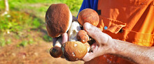 Collected Forest Mushrooms In ...
