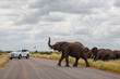 canvas print picture - Elephant herd crossing the road  in the Kruger National Park in the green season in South Africa