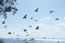 A Flock Of Black Double-crested Cormorant Phalacrocorax Auritus Sea Birds Against A Blue Cloudy Sky