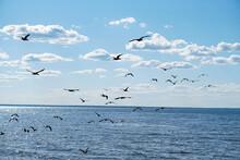 A Flock Of Black Double-crested Cormorant Phalacrocorax Auritus Sea Birds Against A Blue Cloudy Sky
