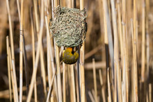 Karoo National Park South Africa: Male Southern Masked-Weaver At Its Nest