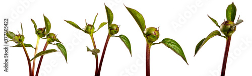 Fotografie, Obraz sprout of peony with unblown bud on a white background