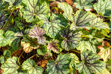 Heuchera 'Green Spice' A Herbaceous Perennial A Spring Summer Foliage Plant With A Pink Flower Commonly Known As Alum Root Stock Photo Image