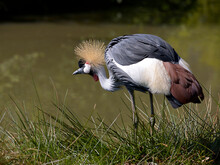 Black Crowned Crane (Balearica Pavonina) At The Water Edge Seen From Profile