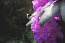Bumble Bee Flying Towards Purple Rhododendrons.