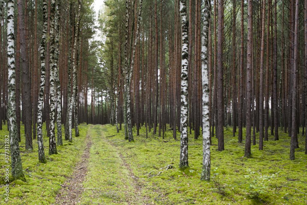 Fototapeta młody lasek sosnowy z pojedyńczymi brzózkami  przy drodze
