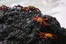 Sally Lightfoot Crab, Red Crab...
